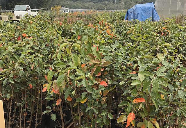 ブルーベリーや栗などの苗木の通販販売、萩原園